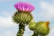 Plante care ajută la detoxifierea ficatului