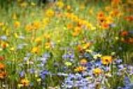 Sindrom premenstrual - tratament cu remediile florale Bach